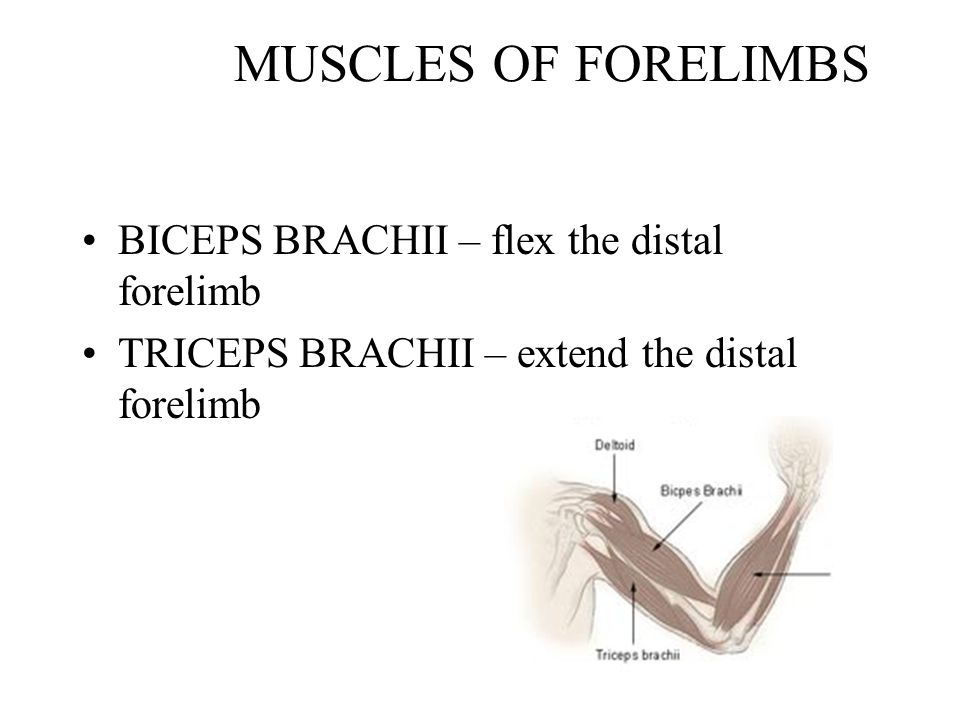 MUSCLES OF FORELIMBS BICEPS BRACHII – flex the distal forelimb TRICEPS BRACHII – extend the distal forelimb