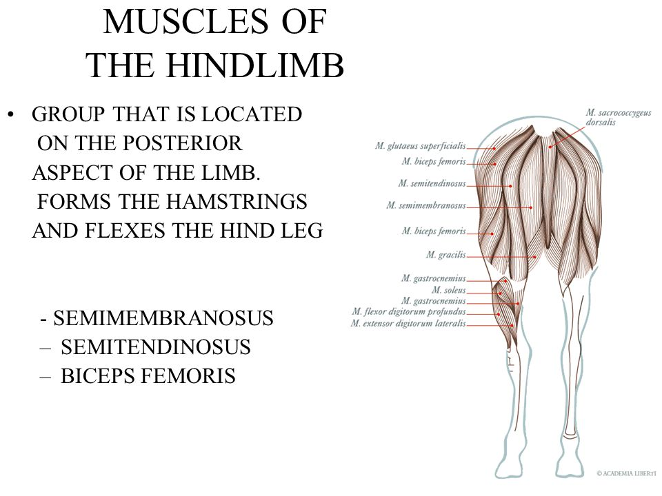 MUSCLES OF THE HINDLIMB GROUP THAT IS LOCATED ON THE POSTERIOR ASPECT OF THE LIMB.