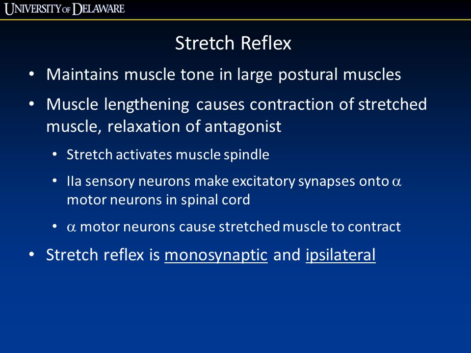 Stretch Reflex Maintains muscle tone in large postural muscles Muscle lengthening causes contraction of stretched muscle, relaxation of antagonist Stretch activates muscle spindle IIa sensory neurons make excitatory synapses onto  motor neurons in spinal cord  motor neurons cause stretched muscle to contract Stretch reflex is monosynaptic and ipsilateral