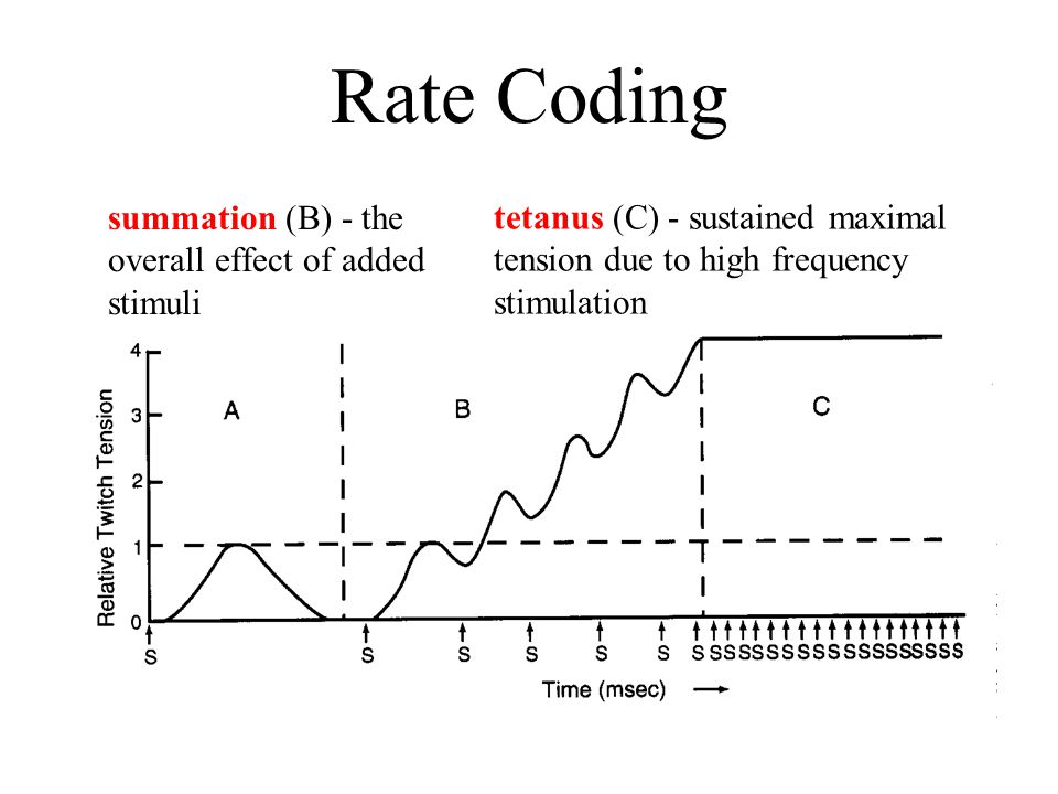 Rate Coding summation (B) - the overall effect of added stimuli tetanus (C) - sustained maximal tension due to high frequency stimulation