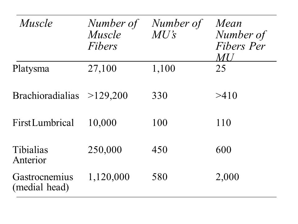 MuscleNumber of Muscle Fibers Number of MU's Mean Number of Fibers Per MU Platysma27,1001,10025 Brachioradialias>129,200330>410 FirstLumbrical10,000100110 Tibialias Anterior 250,000450600 Gastrocnemius (medial head) 1,120,0005802,000