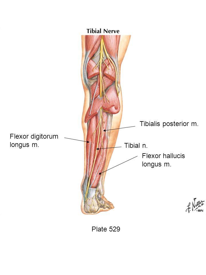 Plate 529 Flexor hallucis longus m. Tibial n. Tibialis posterior m. Flexor digitorum longus m.