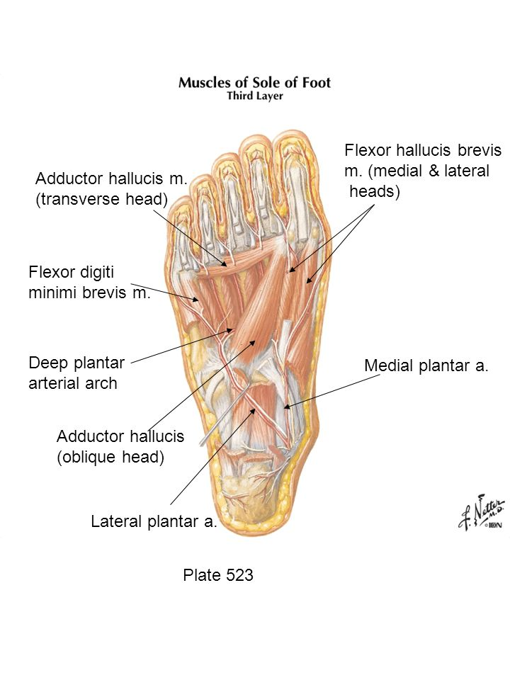 Plate 523 Lateral plantar a.