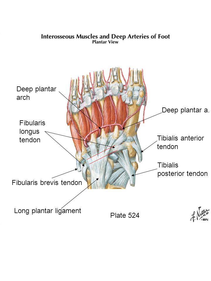 Plate 524 Tibialis posterior tendon Tibialis anterior tendon Deep plantar a.