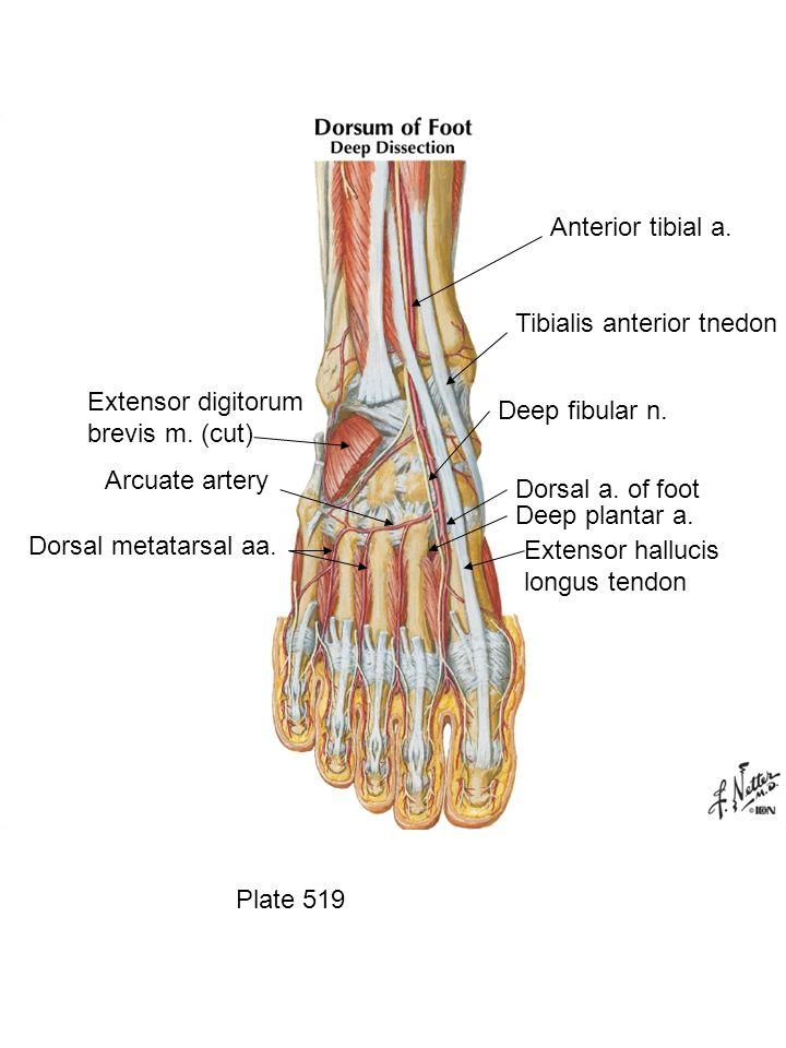 Plate 519 Anterior tibial a. Tibialis anterior tnedon Deep fibular n.
