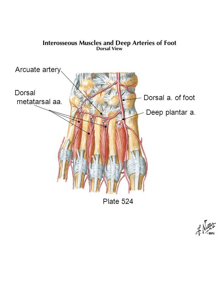 Plate 524 Dorsal metatarsal aa. Arcuate artery Dorsal a. of foot Deep plantar a.