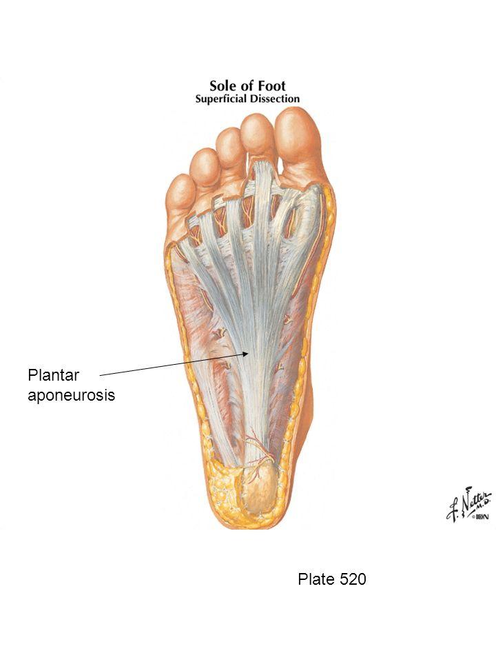Plate 520 Plantar aponeurosis