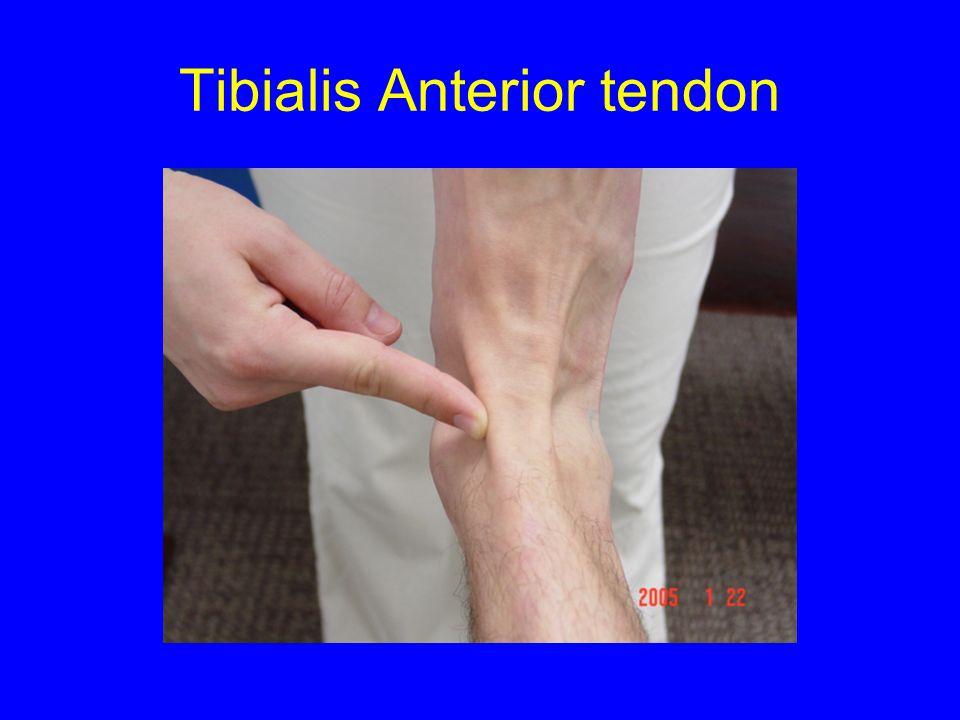 Tibialis Anterior tendon