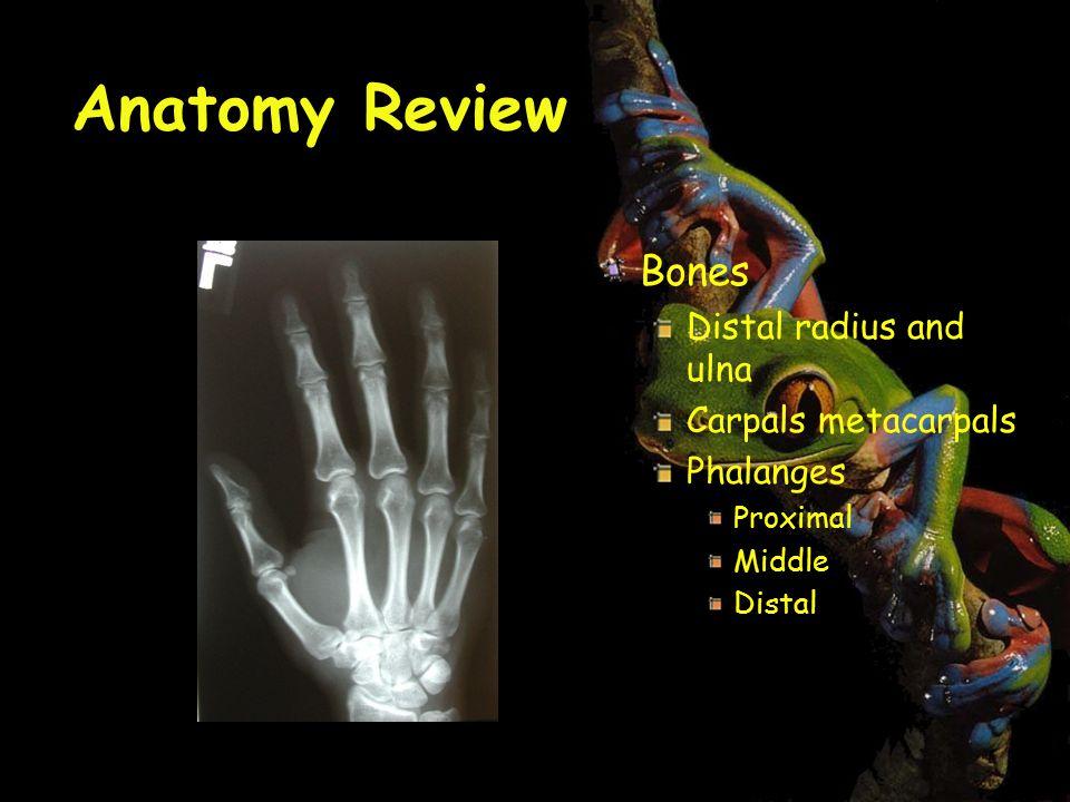 Anatomy Review Bones Distal radius and ulna Carpals metacarpals Phalanges Proximal Middle Distal