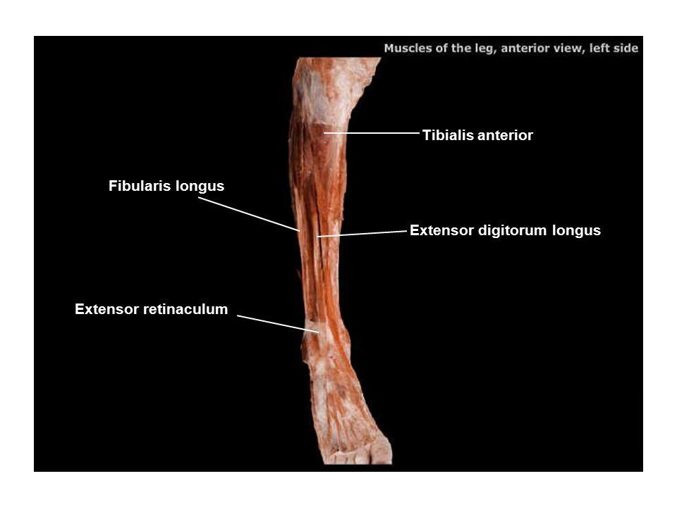 Tibialis anterior Extensor digitorum longus Fibularis longus Extensor retinaculum