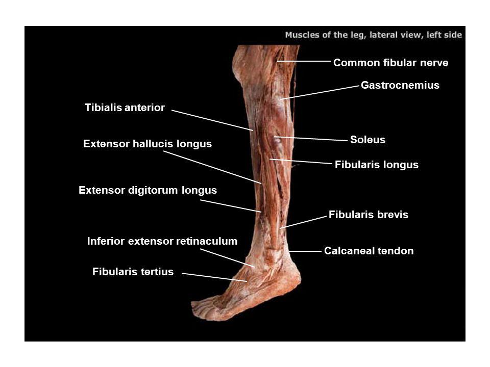 Common fibular nerve Gastrocnemius Soleus Fibularis longus Fibularis brevis Calcaneal tendon Fibularis tertius Inferior extensor retinaculum Extensor