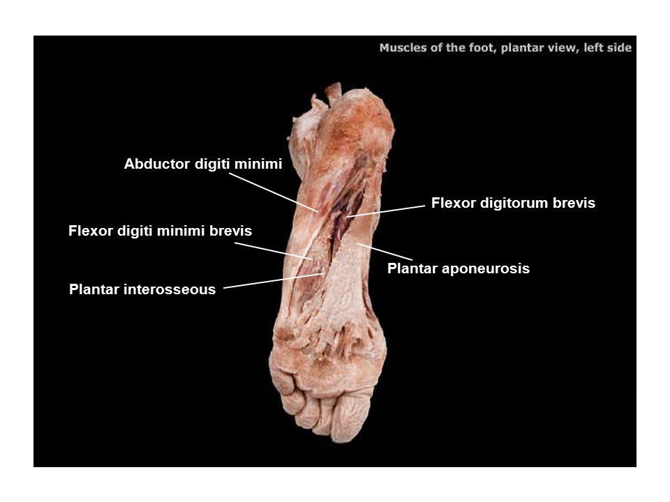 Flexor digitorum brevis Abductor digiti minimi Flexor digiti minimi brevis Plantar interosseous Plantar aponeurosis
