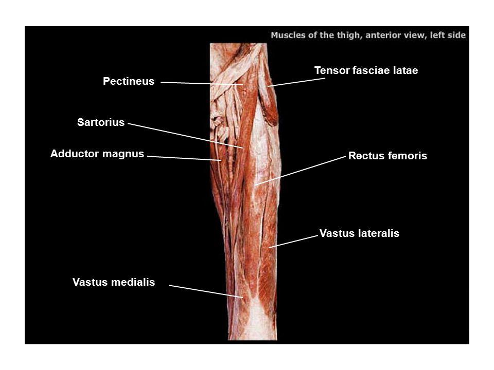 Tensor fasciae latae Pectineus Sartorius Adductor magnus Rectus femoris Vastus lateralis Vastus medialis
