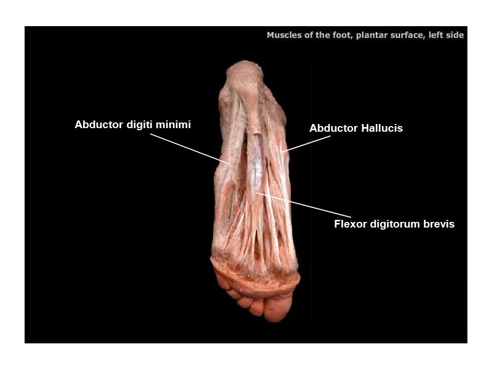 Abductor Hallucis Abductor digiti minimi Flexor digitorum brevis