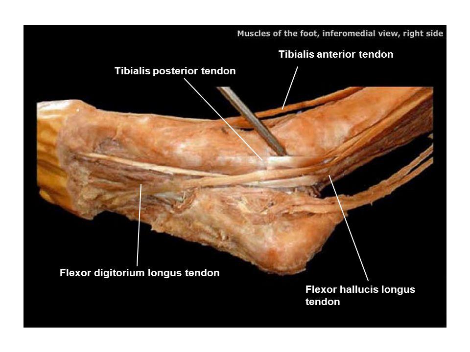 Tibialis anterior tendon Tibialis posterior tendon Flexor digitorium longus tendon Flexor hallucis longus tendon