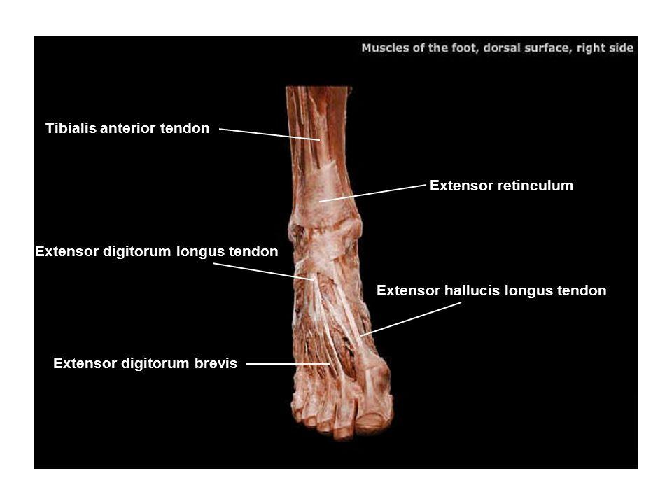 Tibialis anterior tendon Extensor digitorum longus tendon Extensor retinculum Extensor hallucis longus tendon Extensor digitorum brevis