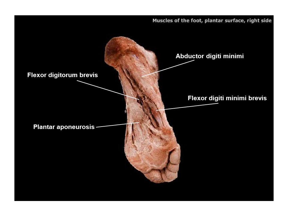 Flexor digitorum brevis Abductor digiti minimi Flexor digiti minimi brevis Plantar aponeurosis