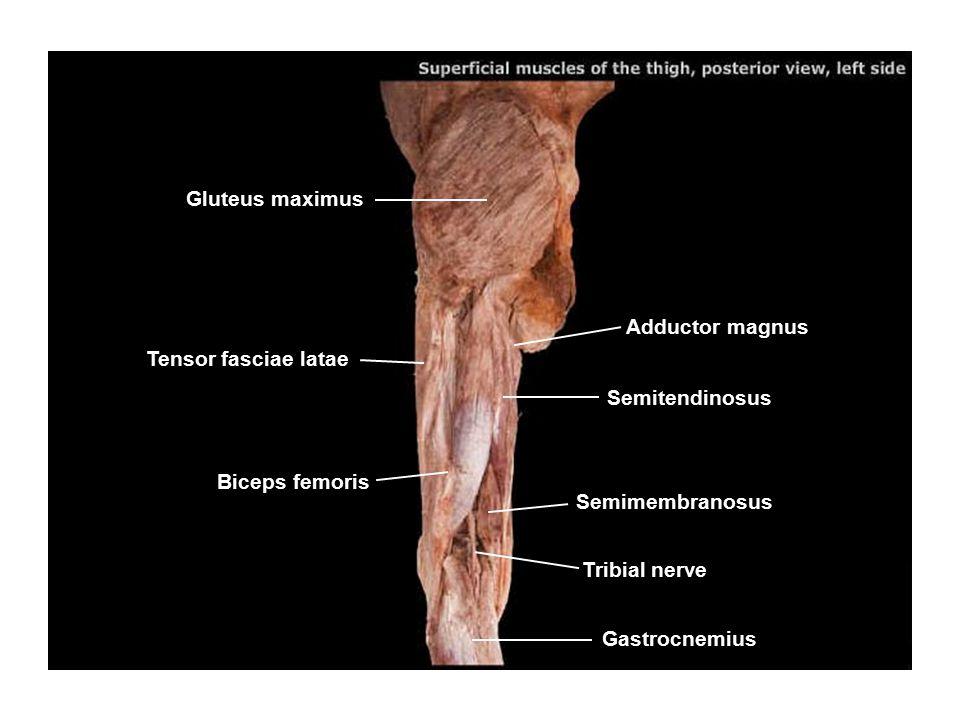 Gluteus maximus Tensor fasciae latae Adductor magnus Semitendinosus Semimembranosus Biceps femoris Tribial nerve Gastrocnemius