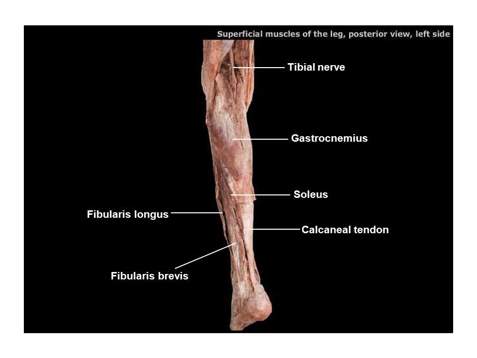 Tibial nerve Gastrocnemius Soleus Calcaneal tendon Fibularis longus Fibularis brevis