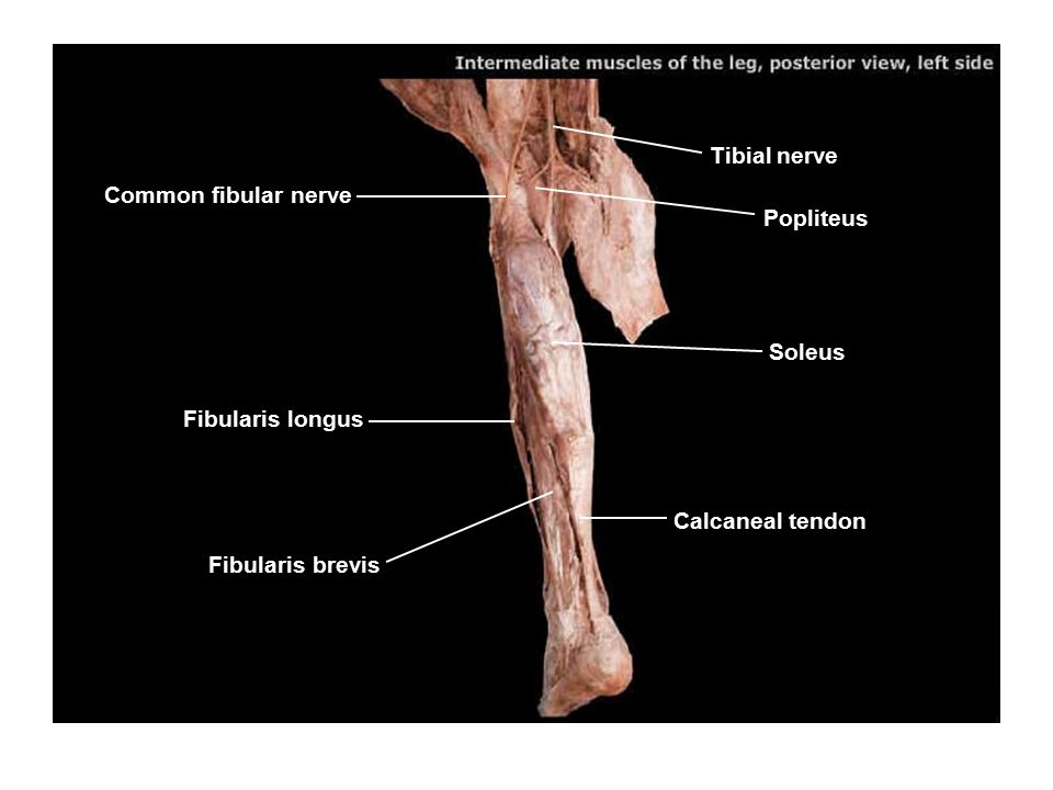 Tibial nerve Popliteus Soleus Calcaneal tendon Fibularis longus Fibularis brevis Common fibular nerve