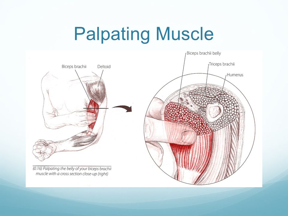 Palpating Deeper Muscles Sometimes the overlying muscle can be shifted to the side to palpate the deeper one.