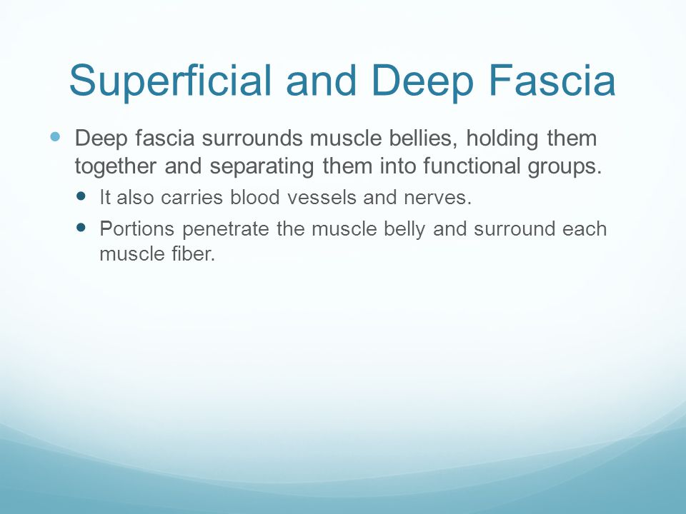 Superficial and Deep Fascia Deep fascia surrounds muscle bellies, holding them together and separating them into functional groups. It also carries bl