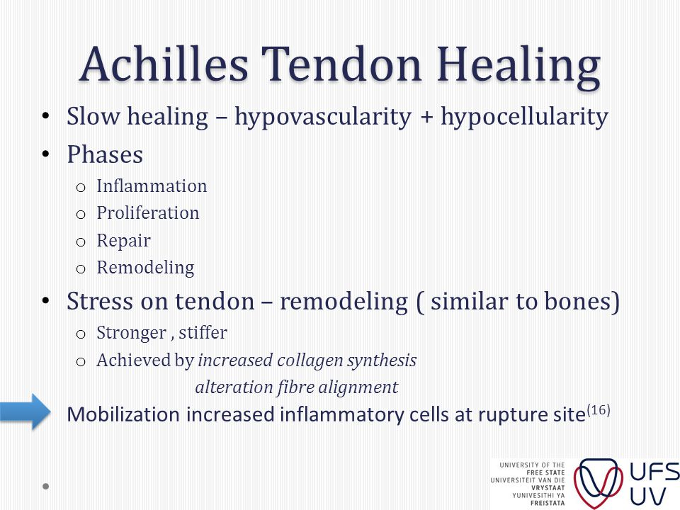Achilles Tendon Healing Slow healing – hypovascularity + hypocellularity Phases o Inflammation o Proliferation o Repair o Remodeling Stress on tendon