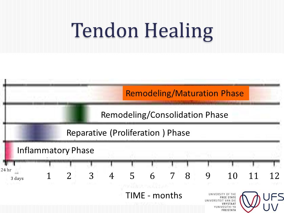 Tendon Healing bbbbbbbb Inflammatory Phase Reparative (Proliferation ) Phase Remodeling/Consolidation Phase Remodeling/Maturation Phase TIME - months 24 hr 3 days 123456789101112