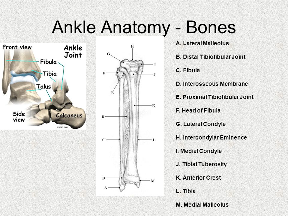 Ankle Anatomy - Bones A. Lateral Malleolus B. Distal Tibiofibular Joint C.