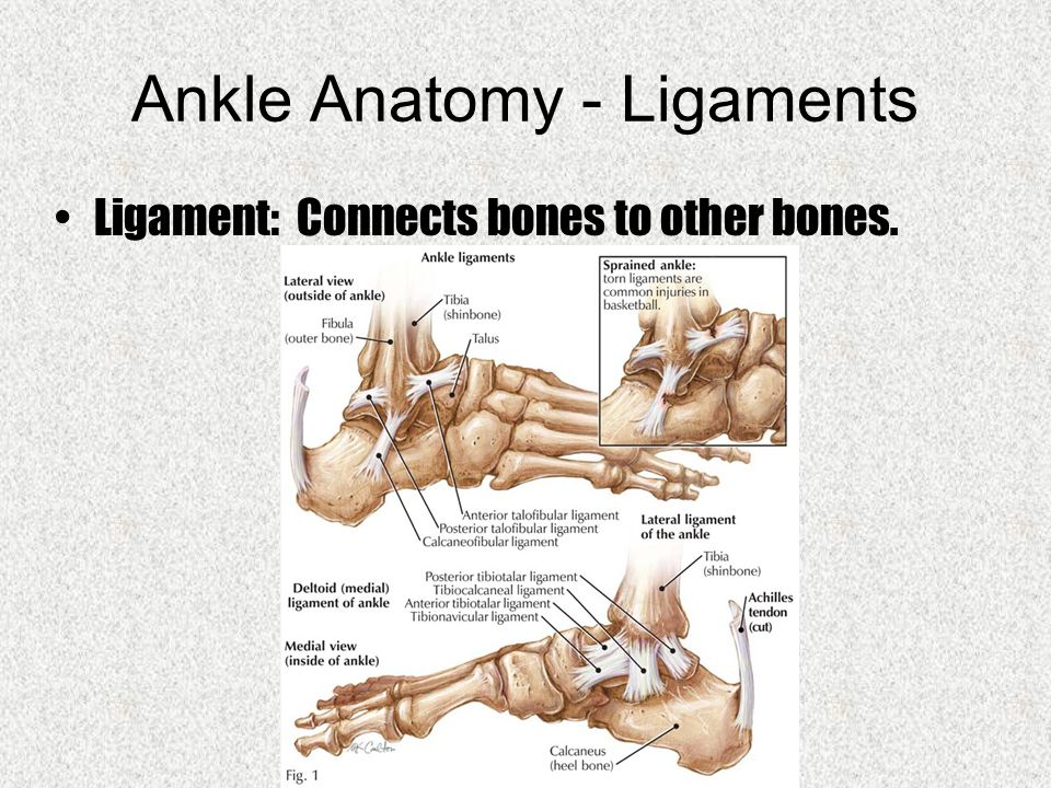 Ankle Anatomy - Ligaments Ligament: Connects bones to other bones.