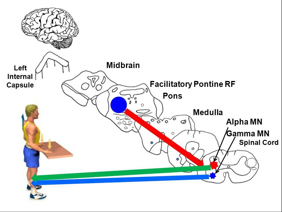 Left Internal Capsule Midbrain Pons Medulla Spinal Cord L A Facilitatory Pontine RF Gamma MN Alpha MN