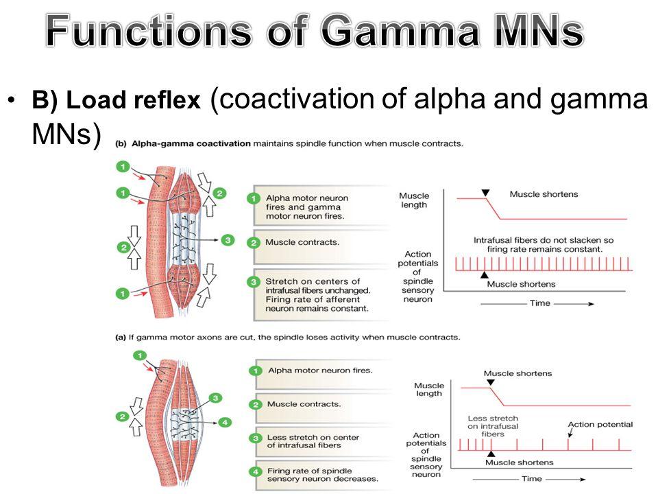 B) Load reflex (coactivation of alpha and gamma MNs)
