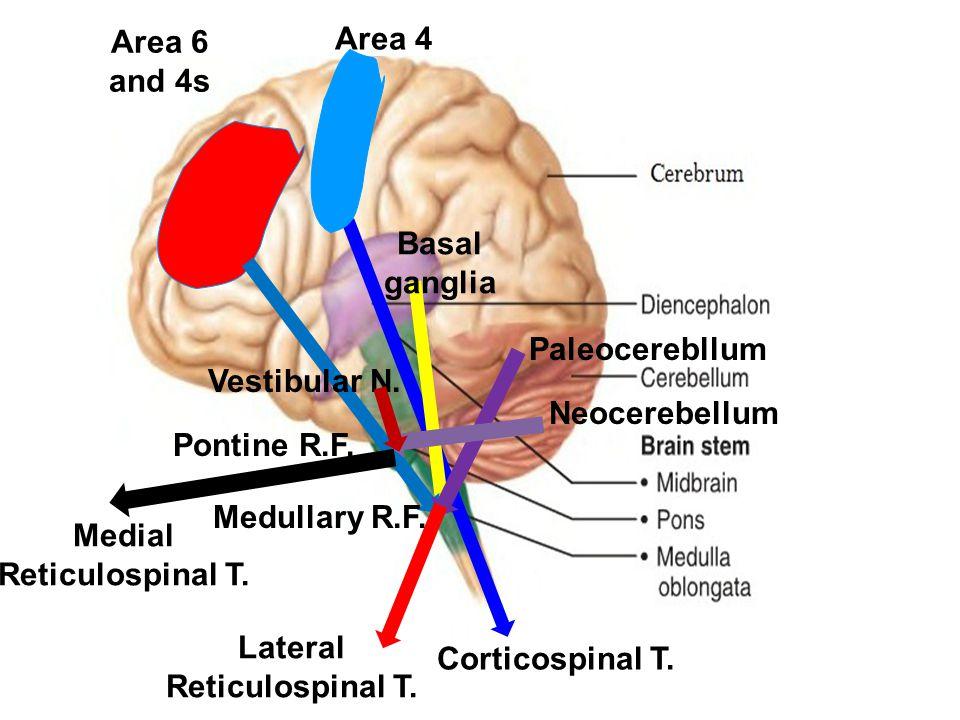 Area 4 Area 6 and 4s Corticospinal T. Basal ganglia Paleocerebllum Lateral Reticulospinal T. Medullary R.F. Pontine R.F. Neocerebellum Vestibular N. M