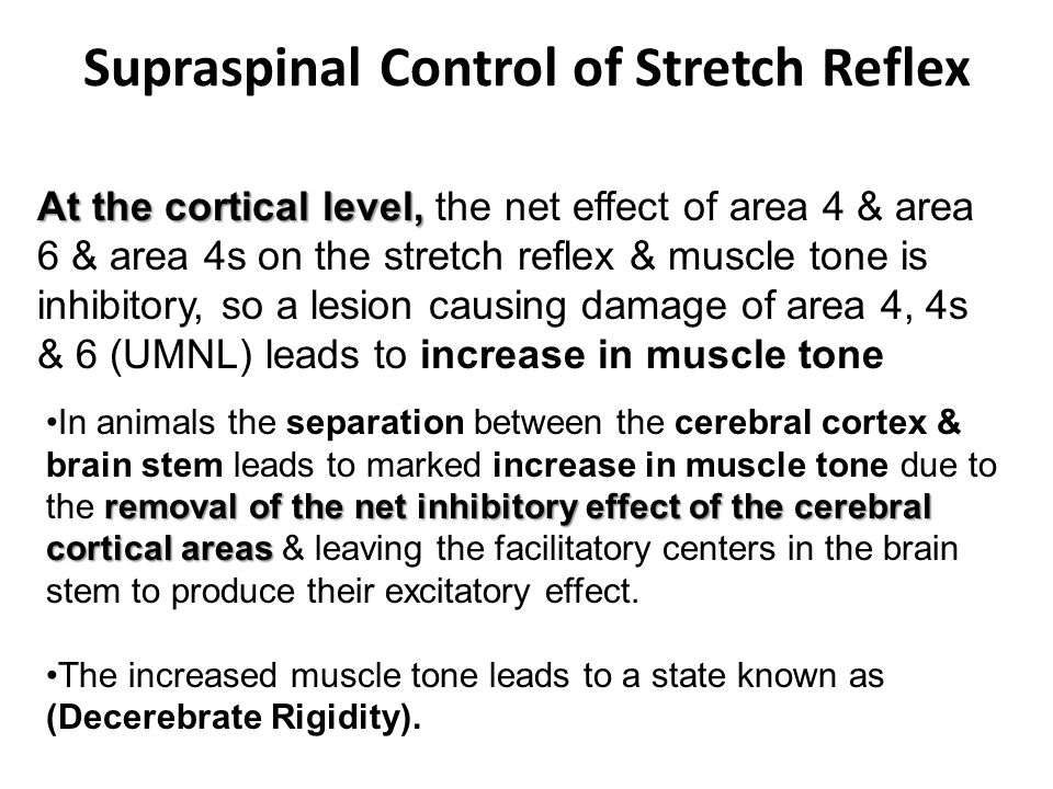 Supraspinal Control of Stretch Reflex At the cortical level, At the cortical level, the net effect of area 4 & area 6 & area 4s on the stretch reflex & muscle tone is inhibitory, so a lesion causing damage of area 4, 4s & 6 (UMNL) leads to increase in muscle tone removal of the net inhibitory effect of the cerebral cortical areasIn animals the separation between the cerebral cortex & brain stem leads to marked increase in muscle tone due to the removal of the net inhibitory effect of the cerebral cortical areas & leaving the facilitatory centers in the brain stem to produce their excitatory effect.