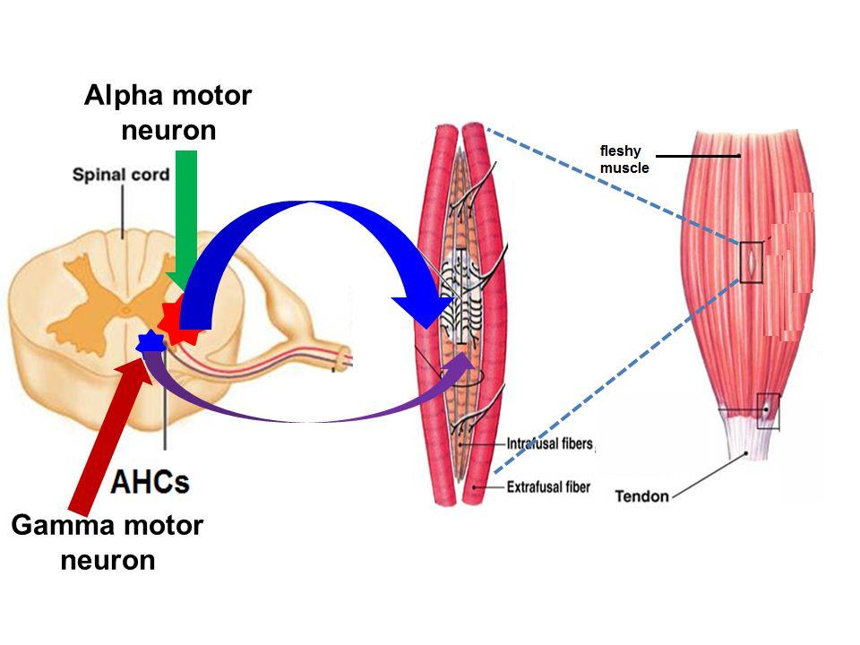 Alpha motor neuron Gamma motor neuron