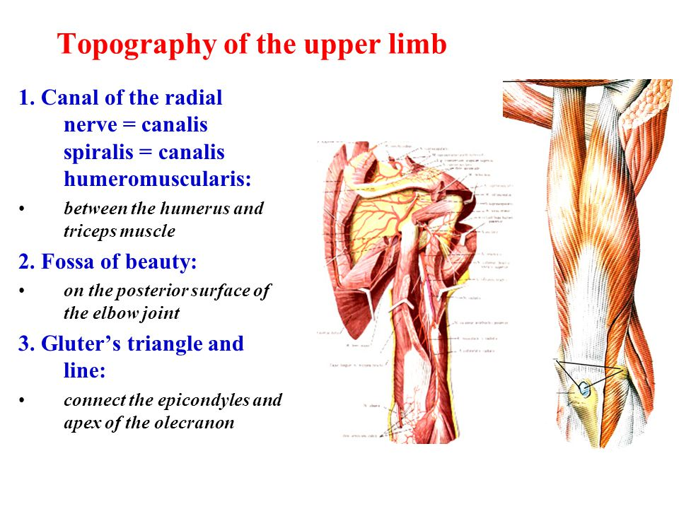 Topography of the upper limb 1. Canal of the radial nerve = canalis spiralis = canalis humeromuscularis: between the humerus and triceps muscle 2. Fos