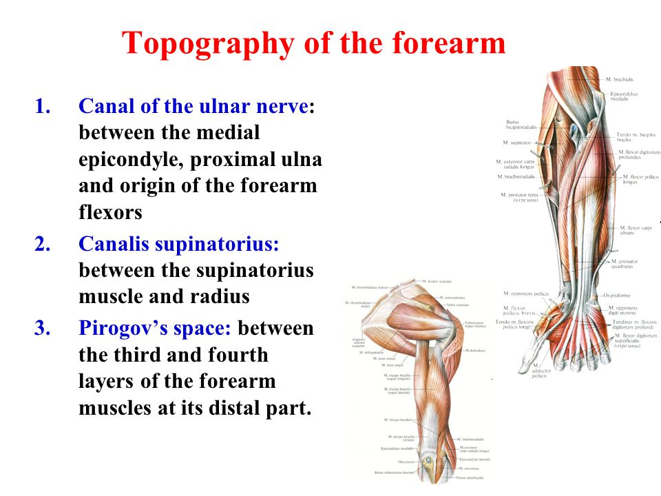 Topography of the forearm 1.Canal of the ulnar nerve: between the medial epicondyle, proximal ulna and origin of the forearm flexors 2.Canalis supinat