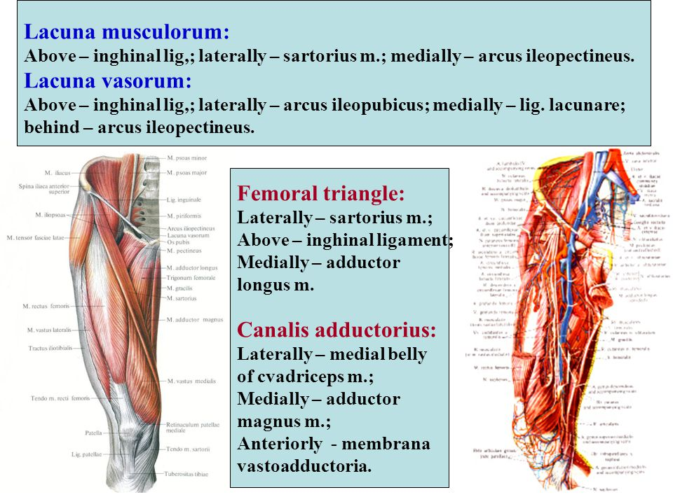 Lacuna musculorum: Above – inghinal lig,; laterally – sartorius m.; medially – arcus ileopectineus. Lacuna vasorum: Above – inghinal lig,; laterally –