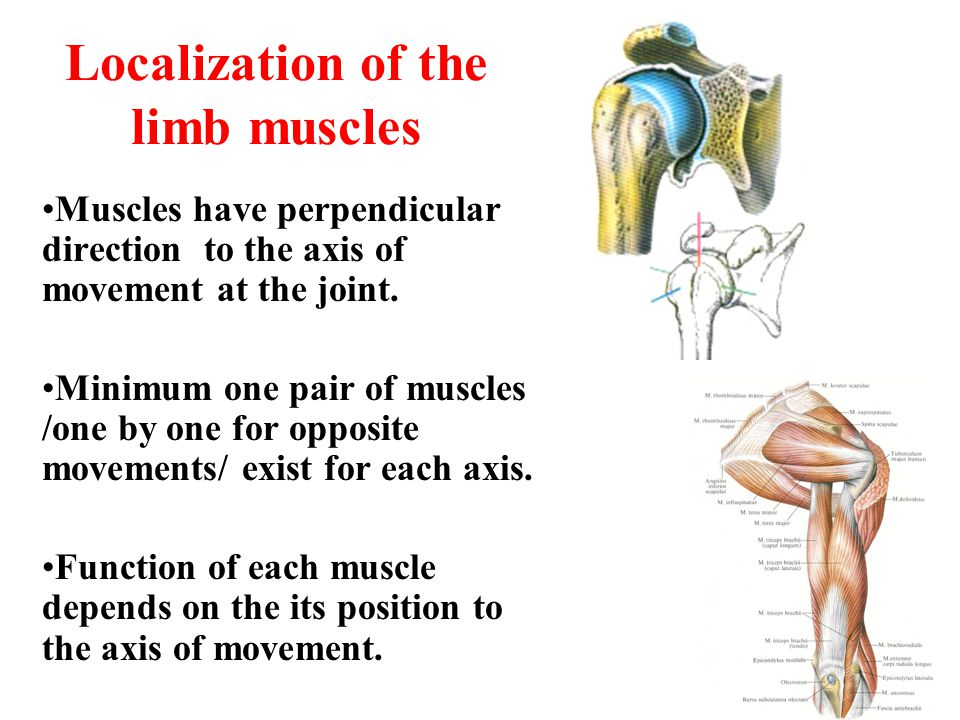 Localization of the limb muscles Muscles have perpendicular direction to the axis of movement at the joint. Minimum one pair of muscles /one by one fo