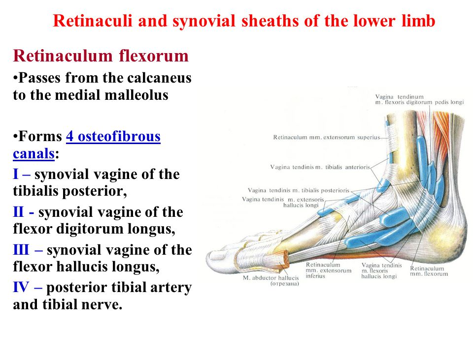 Retinaculi and synovial sheaths of the lower limb Retinaculum flexorum Passes from the calcaneus to the medial malleolus Forms 4 osteofibrous canals: