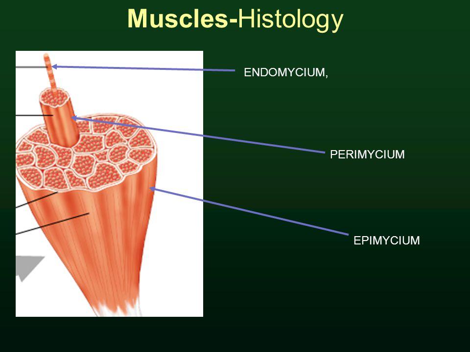 Muscles-Histology ENDOMYCIUM, PERIMYCIUM EPIMYCIUM