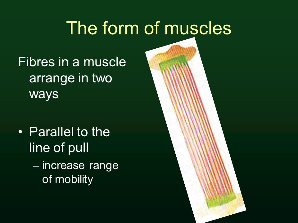 The form of muscles Fibres in a muscle arrange in two ways Parallel to the line of pull –increase range of mobility