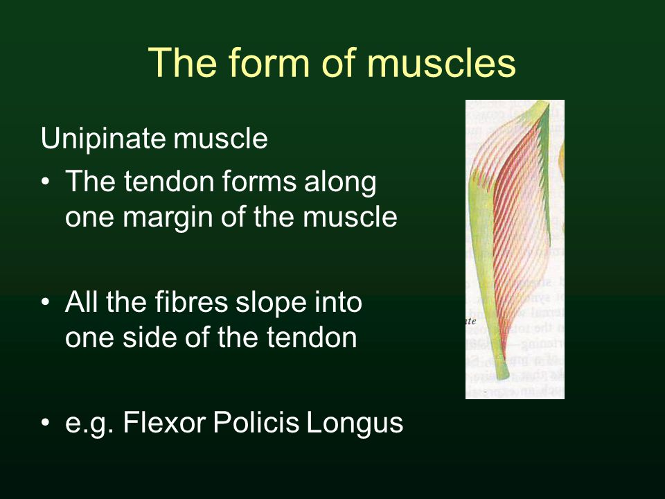 The form of muscles Unipinate muscle The tendon forms along one margin of the muscle All the fibres slope into one side of the tendon e.g.