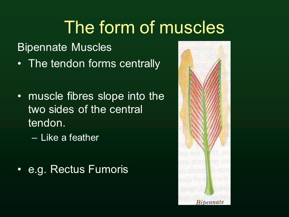 The form of muscles Bipennate Muscles The tendon forms centrally muscle fibres slope into the two sides of the central tendon.