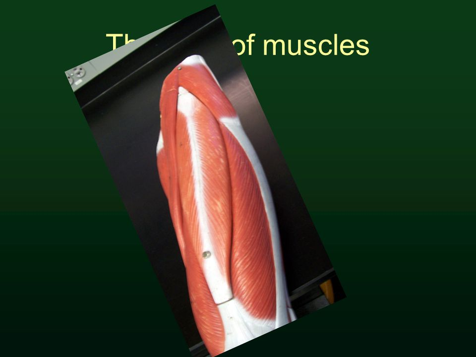 The form of muscles