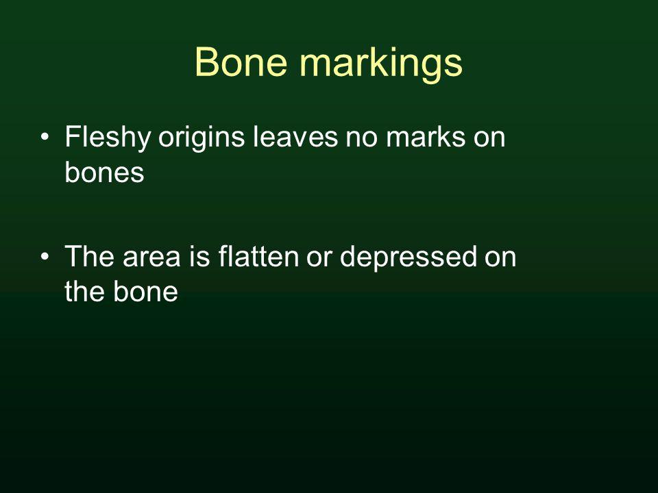 Bone markings Fleshy origins leaves no marks on bones The area is flatten or depressed on the bone