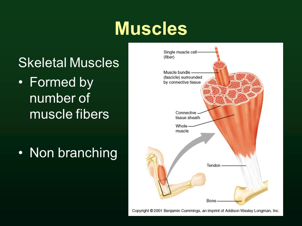 Muscles Skeletal Muscles Formed by number of muscle fibers Non branching