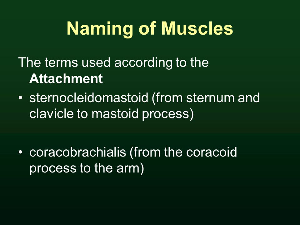 Naming of Muscles The terms used according to the Attachment sternocleidomastoid (from sternum and clavicle to mastoid process) coracobrachialis (from the coracoid process to the arm)