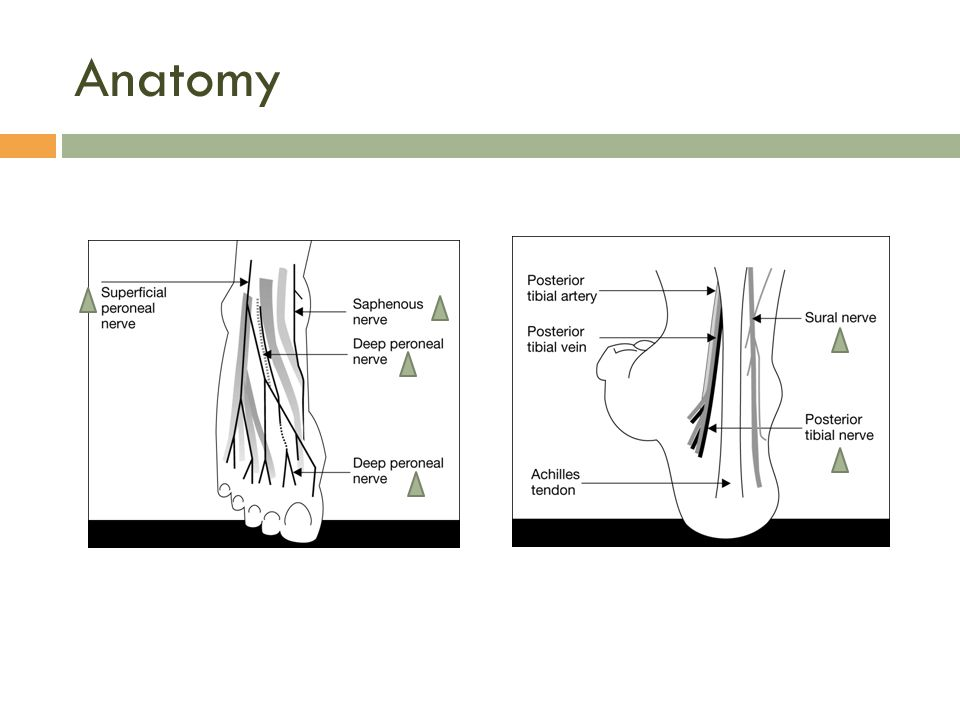4 of the 5 nerves are terminal branches of the sciatic nerve  Deep peroneal nerve  Superficial peroneal nerve  Posterior tibial nerve  Sural nerve
