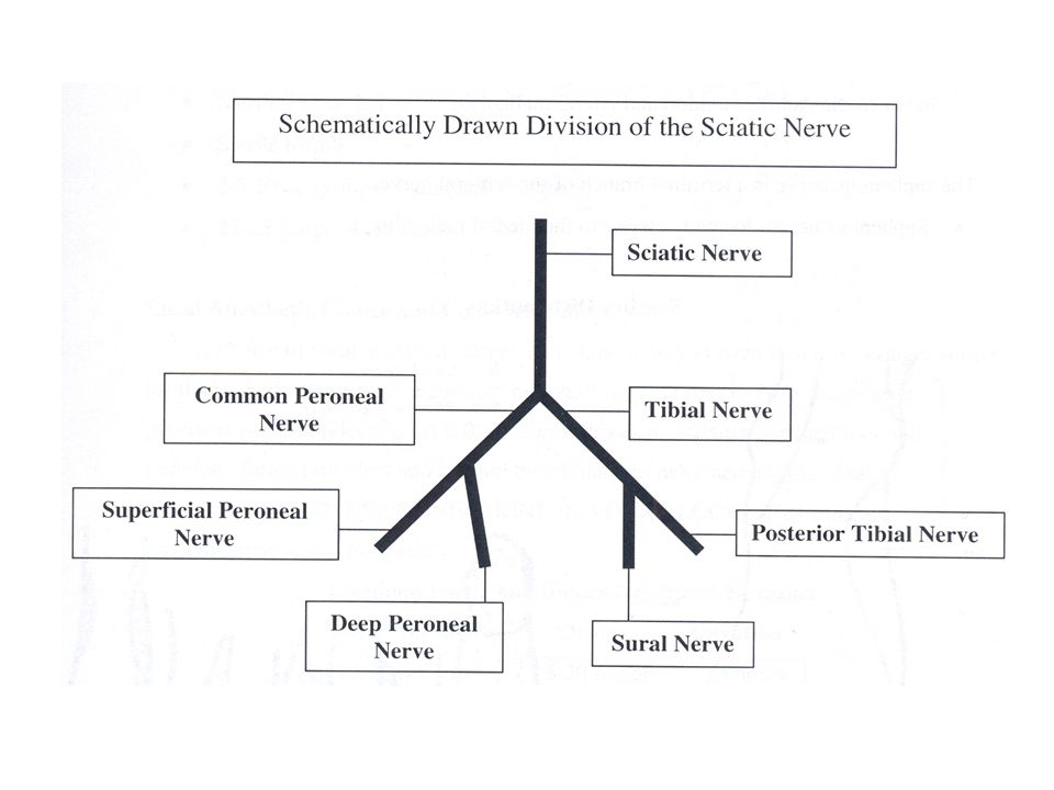 The remaining nerve is the terminal branch of femoral nerve  Saphenous nerve